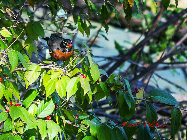 Photograph - Robin And Berries by Edward Peterson