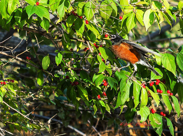 Photograph - Robin And Berries II by Edward Peterson