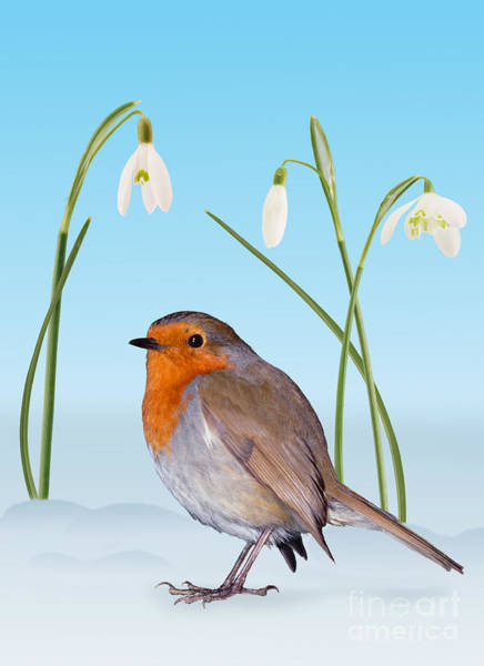 Photograph - Robin And Cold Snowdrops by Warren Photographic