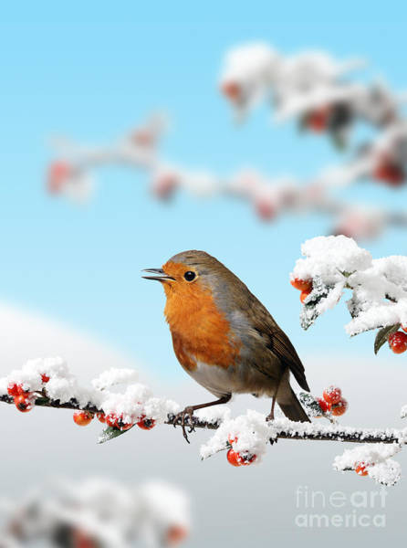 Photograph - Robin And Cotoneaster With Snow by Warren Photographic