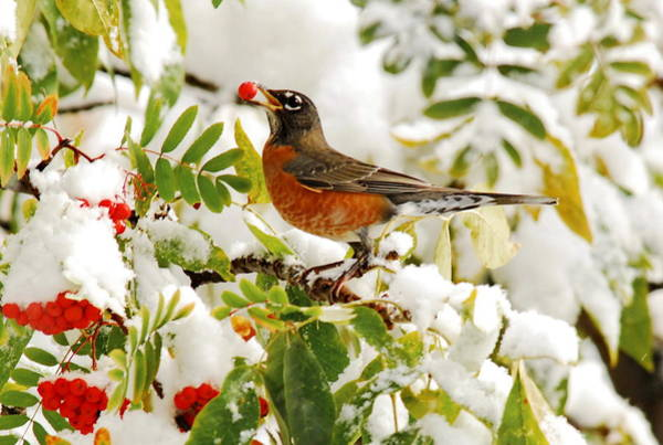 Photograph - Robin And First Snowfall by Andrea Kollo