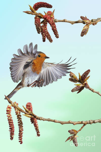 Photograph - Robin And Poplar by Warren Photographic