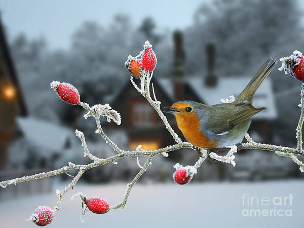 Photograph - Robin And Rose Hips by Warren Photographic
