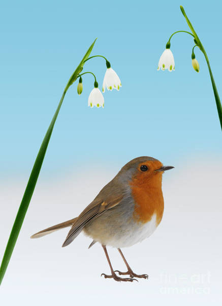 Photograph - Robin And Spring Snowdrops by Warren Photographic