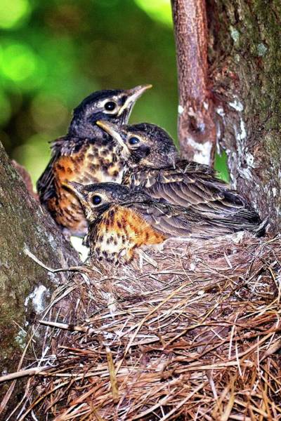 Photograph - Robin Chicks by Ronald Lutz
