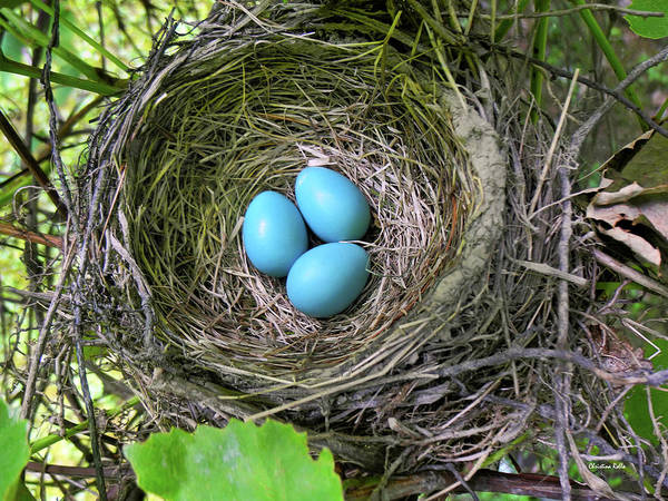 Photograph - Robin Eggs In Nest by Christina Rollo