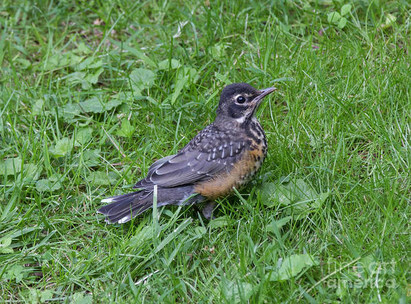 Photograph - Robin Fledgling by Chris Scroggins