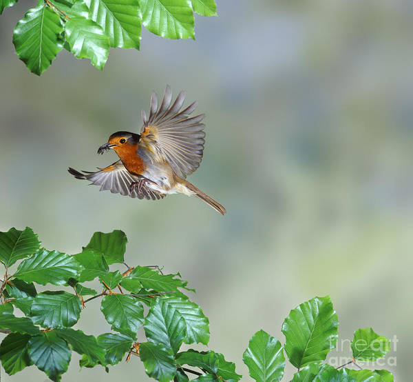 Photograph - Robin Flying To Nest by Warren Photographic
