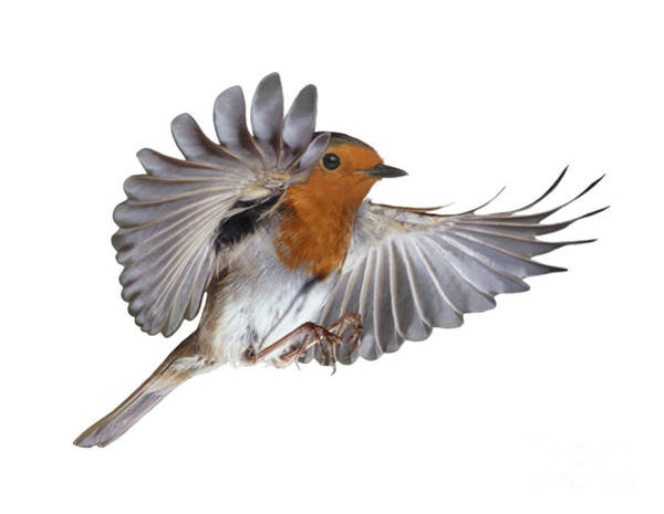 Photograph - Robin Flying by Warren Photographic