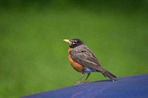 Photograph - Robin Gazing by John Benedict