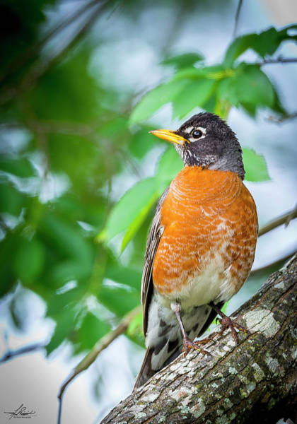 Photograph - Robin In A Tree by Philip Rispin