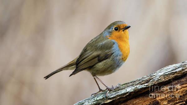 European Robin Photograph - Robin In Spring by Torbjorn Swenelius