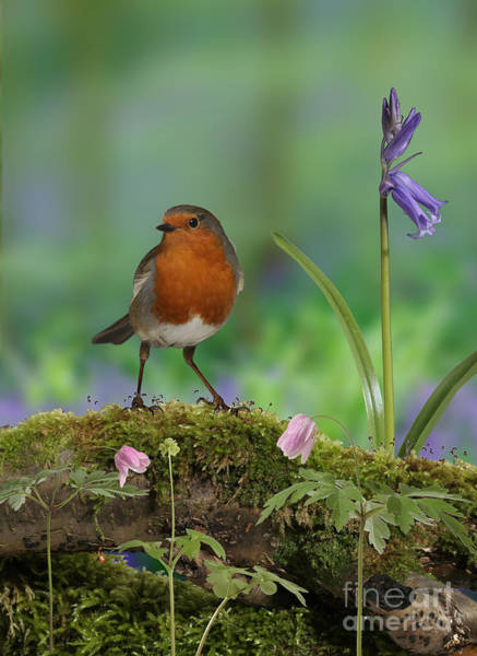 Photograph - Robin In Spring Wood by Warren Photographic