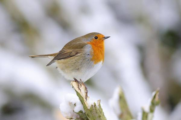 Wall Art - Photograph - Robin In The Snow by Colin Varndell
