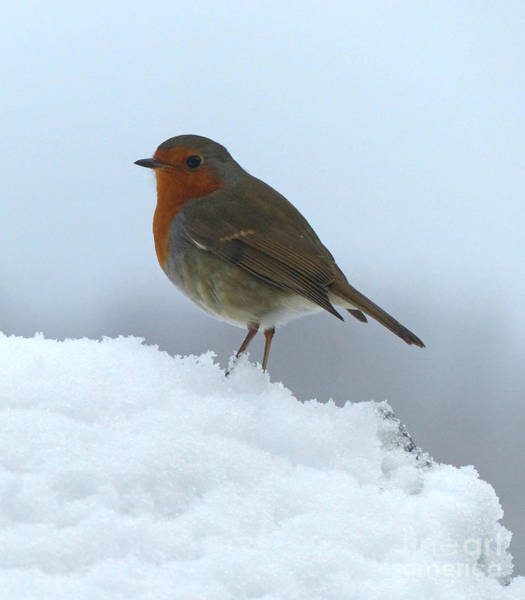 Photograph - Robin In The Snow by Phil Banks