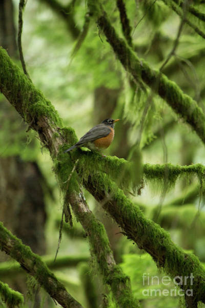 Photograph - Robin On A Branch by Donna L Munro