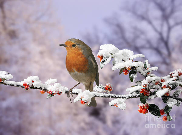Photograph - Robin On Cotoneaster With Snow by Warren Photographic