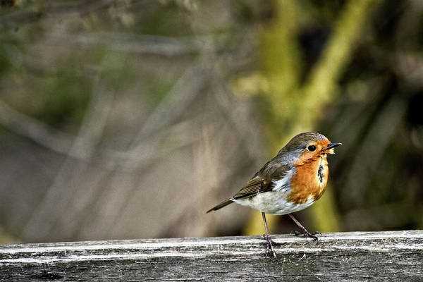 Photograph - Robin On Fence by Cliff Norton