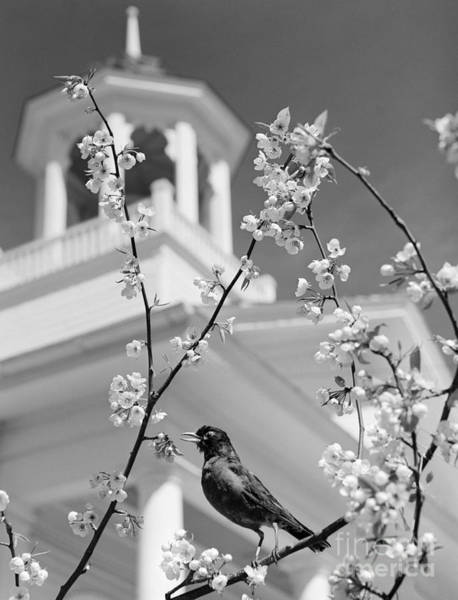 Photograph - Robin On Flowering Branch, C.1950s by D Corson and ClassicStock