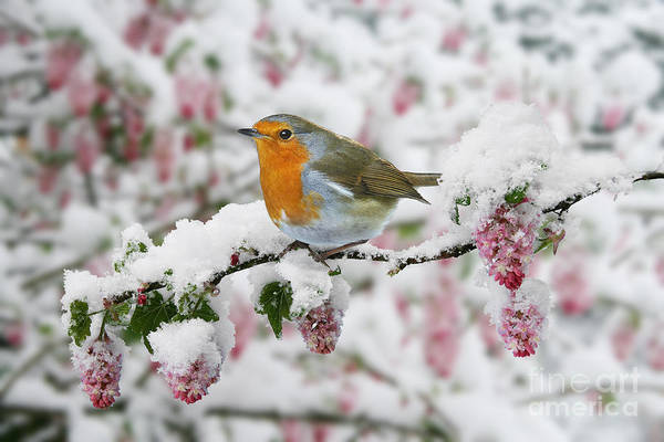 Photograph - Robin On Flowing Current by Warren Photographic