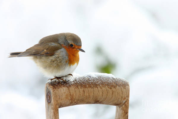 Photograph - Robin On Fork Handle by Warren Photographic