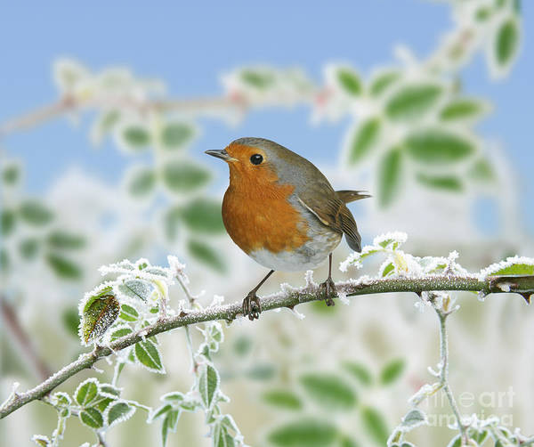 Photograph - Robin On Frosty Briar by Warren Photographic