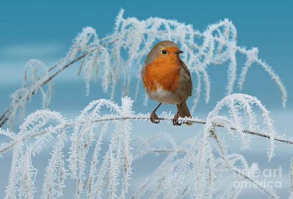Photograph - Robin On Frosty Grass by Warren Photographic
