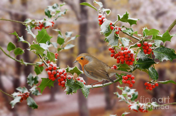Photograph - Robin On Holly Twigs by Warren Photographic