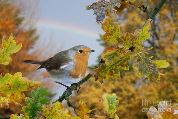 Photograph - Robin On Oak Branch by Warren Photographic
