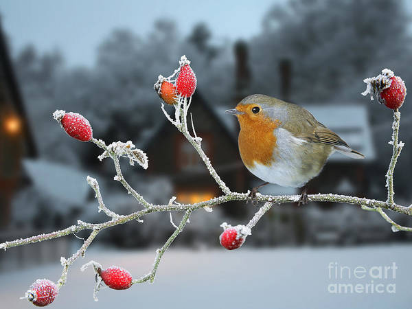 Photograph - Robin On Rose Hips And Frost by Warren Photographic