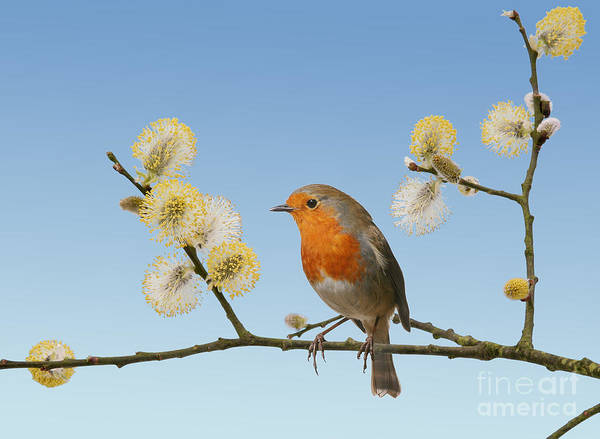 Photograph - Robin On Willow by Warren Photographic