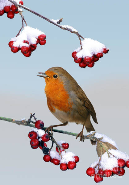 Photograph - Robin On Winter Cotoneaster by Warren Photographic