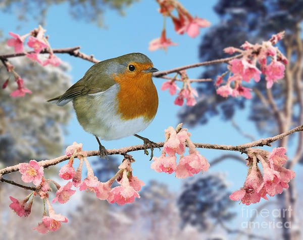Photograph - Robin On Winter Flowering Plum by Warren Photographic