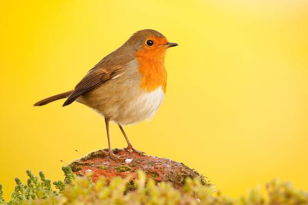 Photograph - Robin On Yellow by Simon Litten