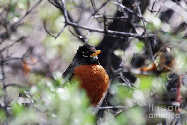 Lethbridge Photograph - Robin Red Breast by Alyce Taylor