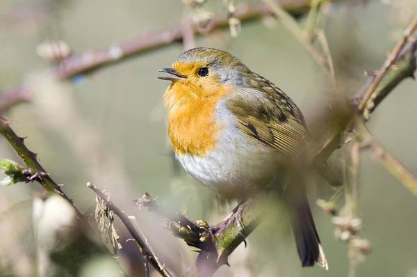 European Robin Photograph - Robin Singing On A Branch by Duncan Shaw