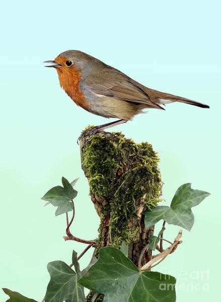 Photograph - Robin Singing On Ivy-covered Stump by Warren Photographic
