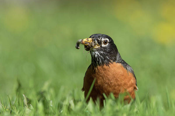 Wall Art - Photograph - Robin With Worms by Mircea Costina Photography