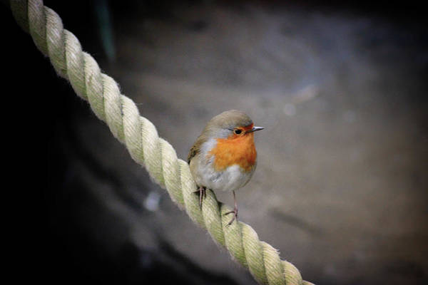 Red Robin Photograph - Robin Without Batman by Martin Newman