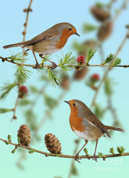 Photograph - Robins On Larch by Warren Photographic