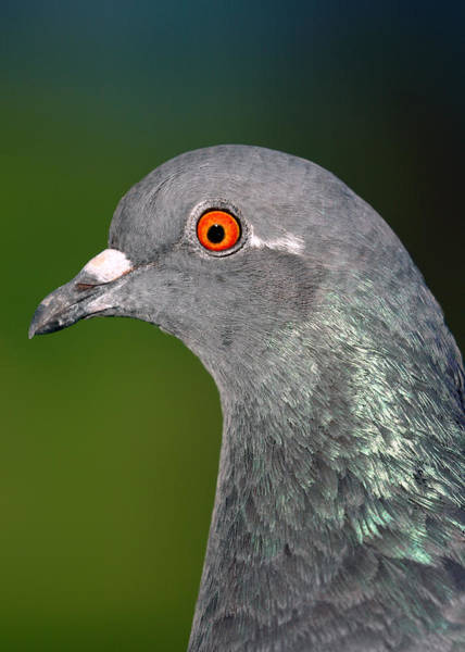 Photograph - Rock Dove by Nicholas Blackwell
