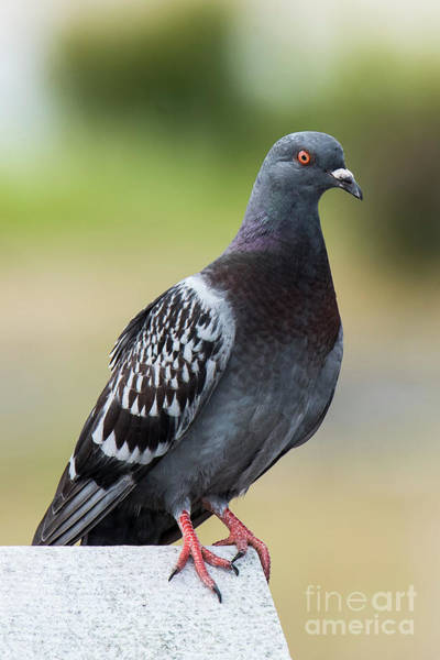 Photograph - Rock Pigeon On Fence by Michael D Miller