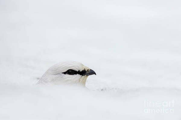 Photograph - Rock Ptarmigan In The Snow by Arterra Picture Library