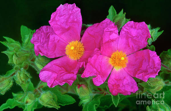 Photograph - Rock Roses Cistus Villosa Wild California by Dave Welling