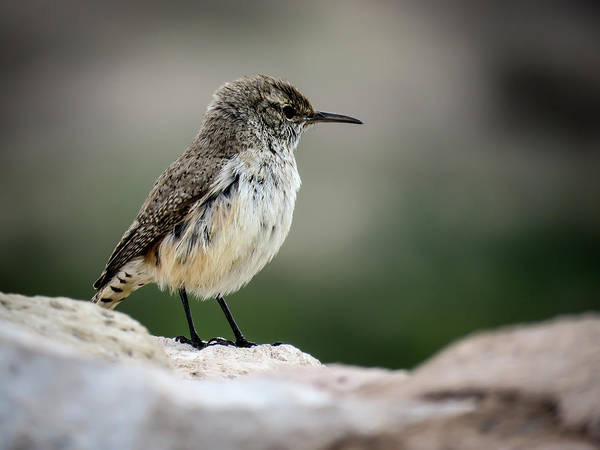 Photograph - Rock Wren by Terry Ann Morris