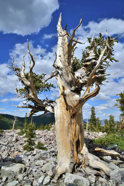 Photograph - Rocket Bristlecone by Ray Mathis