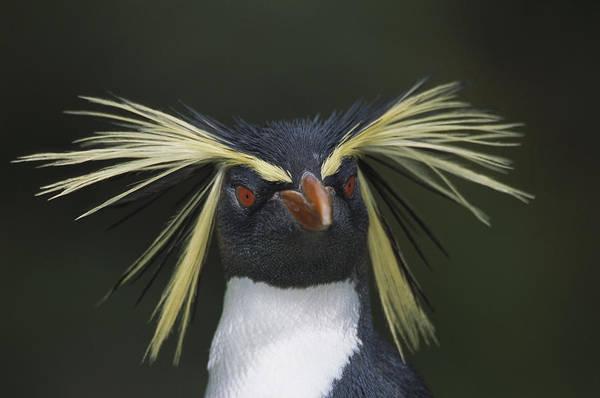 Photograph - Rockhopper Penguin Eudyptes Chrysocome by Tui De Roy