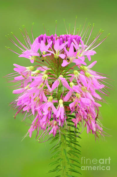 Photograph - Rocky Mountain Beeplant Wildflower Cleome Serrulata Wi by Dave Welling