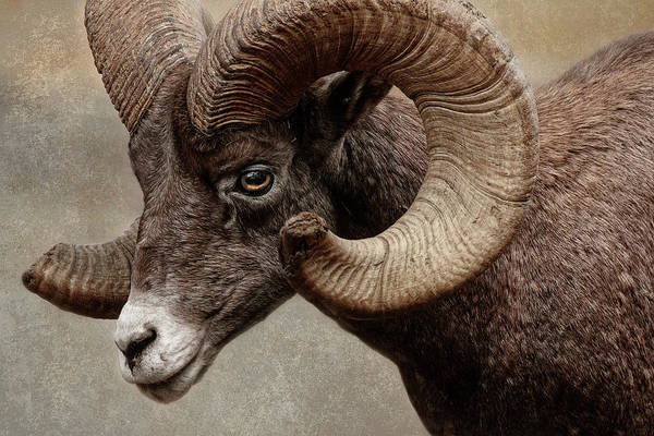 Photograph - Rocky Mountain Bighorn by Wes and Dotty Weber