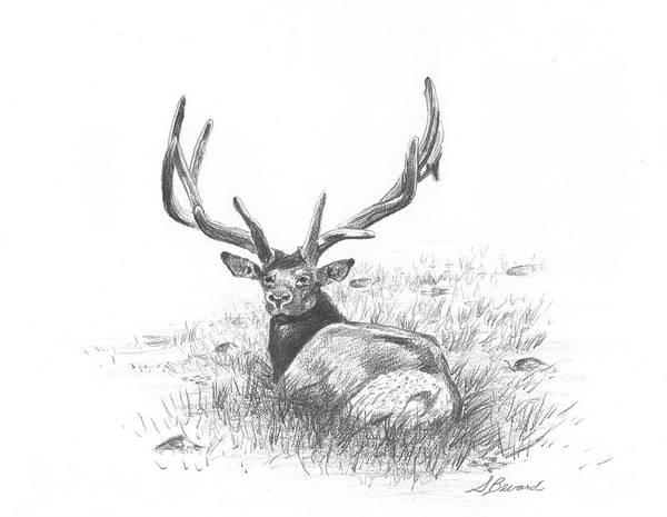 Elk Mountain Drawing - Rocky Mountain Bull Elk by Sarah Bevard